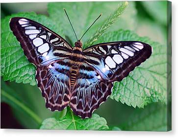 Butterfly Canvas Print by Don  Wright