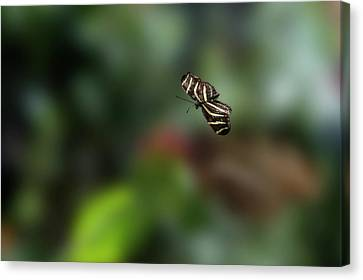 Butterfly Floating In The Air Canvas Print by Dan Friend
