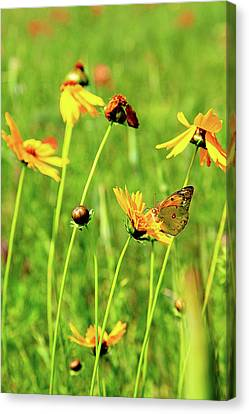 Butterfly Freedom Canvas Print by Toni Hopper