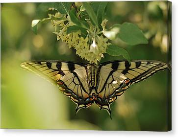 Canvas Print featuring the photograph Butterfly From Another Side by Susan Capuano