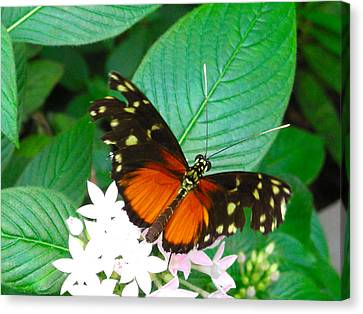Butterfly House  Canvas Print