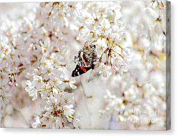Butterfly In Cherry Blossom Canvas Print by Charline Xia