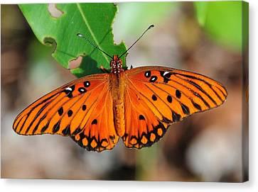 Butterfly In Feast Canvas Print