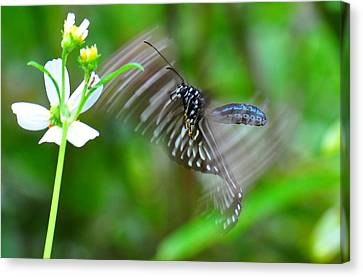 Butterfly In Motion Canvas Print - Butterfly In Motion by Shawn  Miller