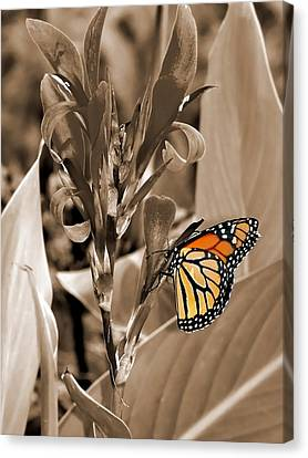 Butterfly In Sepia Canvas Print by Lauren Radke