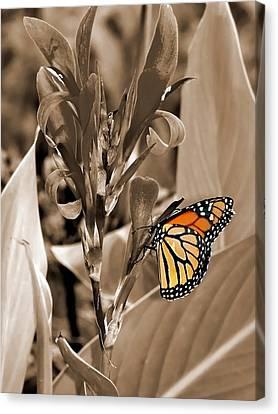 Butterfly In Sepia Canvas Print by Lauren Radke