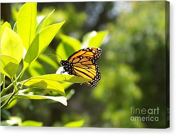 Canvas Print featuring the photograph Butterfly In Sunlight by Carol  Bradley