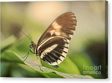 Butterfly In The Fog Canvas Print