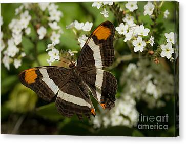 Butterfly In The Garden Canvas Print by Ana V Ramirez