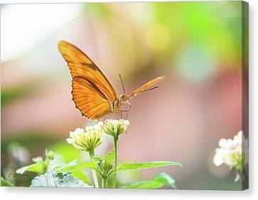 Butterfly - Julie Heliconian Canvas Print by Pamela Williams