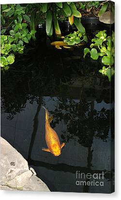 Butterfly Koi In Pond Canvas Print by John Kaprielian