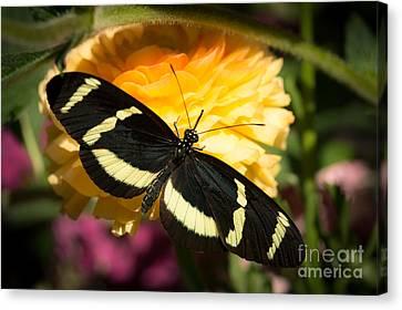 Butterfly Moment Canvas Print by Ana V Ramirez