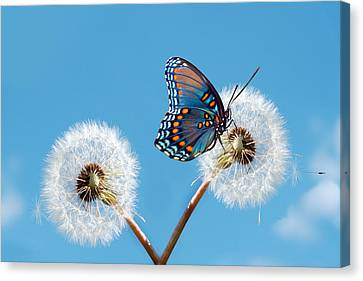 Butterfly On Dandelion Canvas Print by Royalty Free