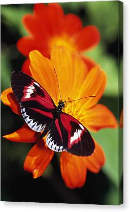 Butterfly On Flower Canvas Print by Natural Selection Ralph Curtin