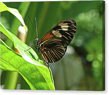 Butterfly On Leaf 1 Canvas Print