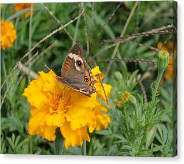 Canvas Print featuring the photograph Butterfly On Marigold by Beth Akerman