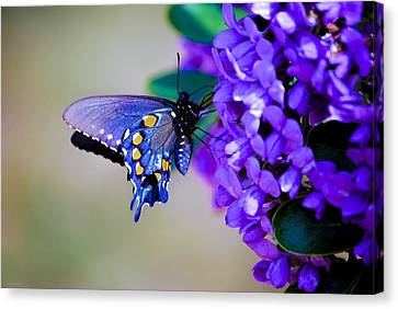 Butterfly On Mountain Laurel Canvas Print by Debbie Karnes