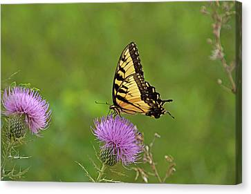 Canvas Print featuring the photograph Butterfly On Thistle by Sandy Keeton