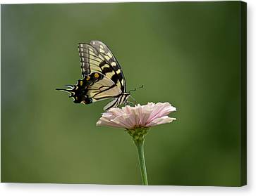 Canvas Print featuring the photograph Butterfly On Zinnia by Wanda Krack