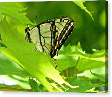 Butterfly Rest In The Leaves Canvas Print by Debra     Vatalaro