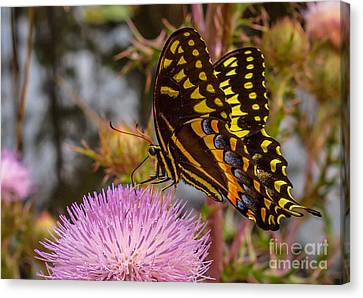 Butterfly Visit Canvas Print by Tom Claud