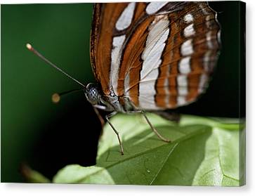 Butterfly Canvas Print by Wilma  Birdwell