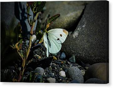 Canvas Print featuring the photograph Cabbage White Butterfly by Tikvah's Hope