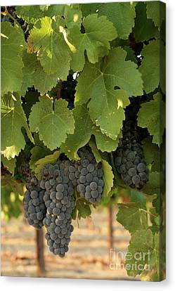 Cabernet Grapes Canvas Print by Brooke Roby