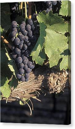 Cabernet Grapes On The Vine In Santa Canvas Print by Rich Reid