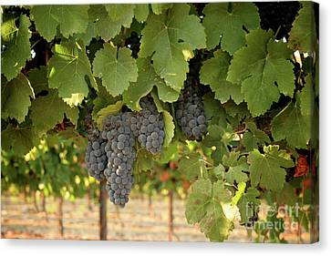 Cabernet Grapes One Canvas Print by Brooke Roby