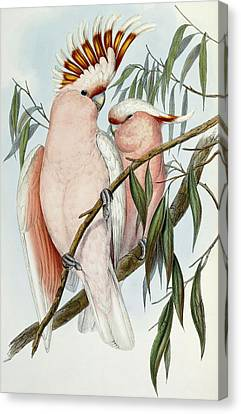 Cacatua Leadbeateri Canvas Print by John Gould