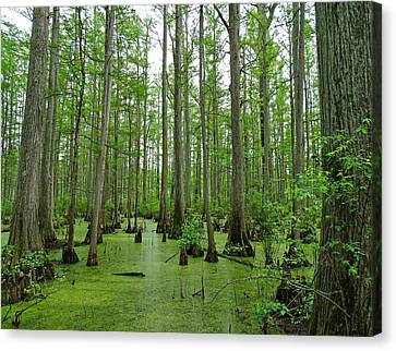 Cache River Swamp Canvas Print by Sandy Keeton