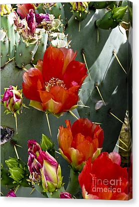 Cactus Blossom Canvas Print by Kathy McClure