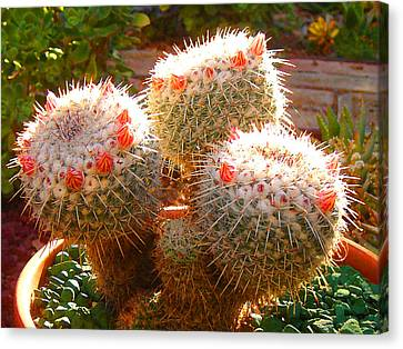 Cactus Buds Canvas Print by Amy Vangsgard