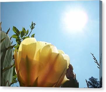 Cactus Enjoying Sun Light Canvas Print by Robin Coaker