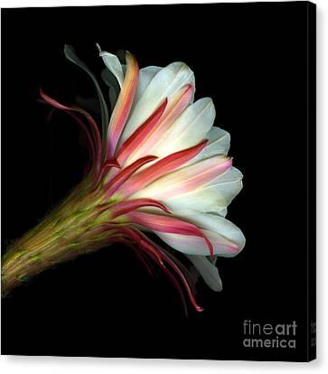 Cactus Flower Canvas Print by Christian Slanec