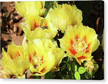Canvas Print featuring the photograph Cactus Flowers And Friend by Sheila Brown