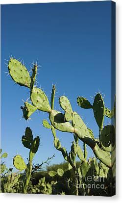 Cactus Canvas Print by Juan  Silva