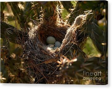 Cactus Nest Canvas Print by David Lee Thompson