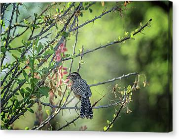 Cactus Wren 3270 Canvas Print by Tam Ryan