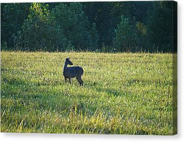 Cades Doe Canvas Print by Laurie Perry