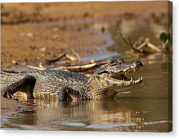 Caiman With Open Mouth Canvas Print