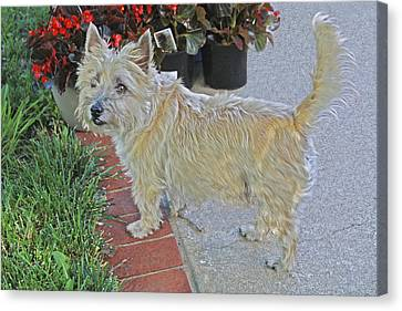 Cairn Terrier On The Patio Canvas Print