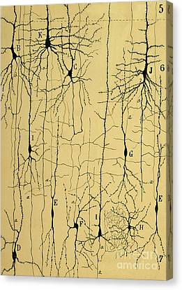 Histology Canvas Print - Cajal Drawing Of Microscopic Structure Of The Brain 1904 by Science Source
