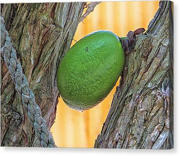 Canvas Print featuring the photograph Calabash Fruit by Bill Barber