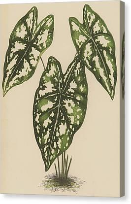 Caladium Argyrites Canvas Print