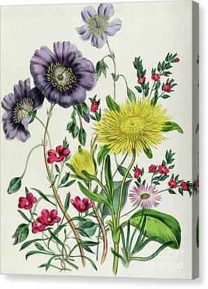 Purple Flowers Canvas Print - Calandrinia by Jane Loudon