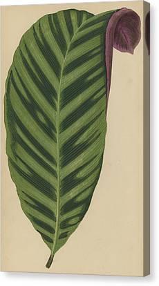 Calathea Zebrina, Maranta Zebrina Canvas Print by English School