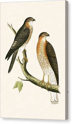 Calcutta Sparrow Hawk Canvas Print by English School