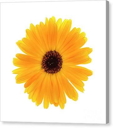 Canvas Print featuring the photograph Calendula Flower by Elena Elisseeva